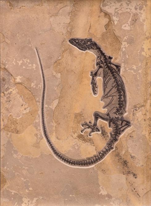 Tom Wiewandt fossil-varanid-lizard_sm_300